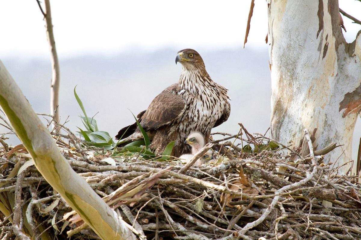 bonellis-eagle